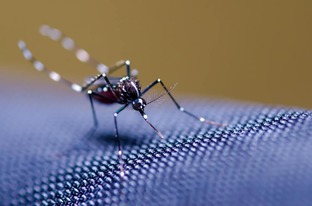 Mosquita da dengue para o post sobre dengue em animais