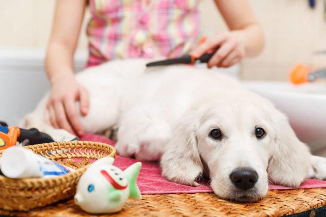 cachorro branco deitado enquanto é escovado por uma mulher