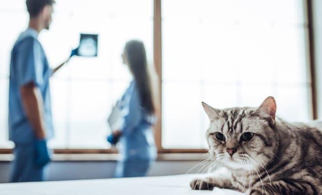 Médicos veterinários analisando resultado de raio-x do tórax de gato.