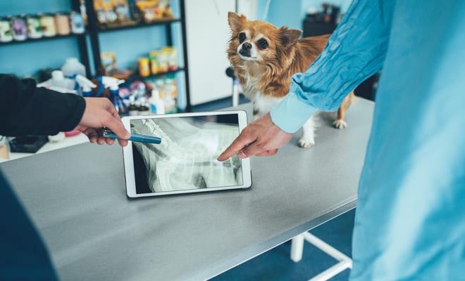 Médicos veterinários analisando raio x de traqueia de cachorro.