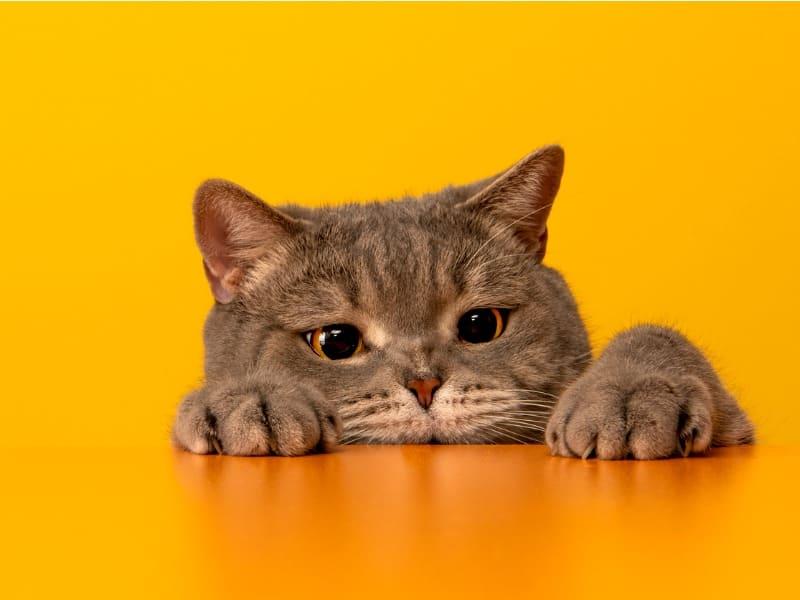 Saiba como identificar a diabete felina
