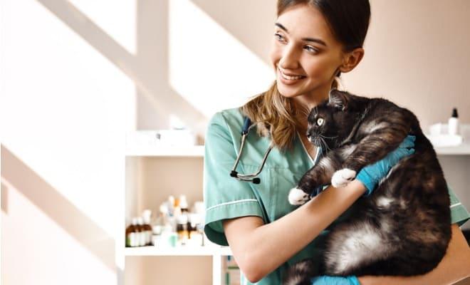 Médica veterinária com gato preto gordinho no colo pronto para exame de diabete felina.