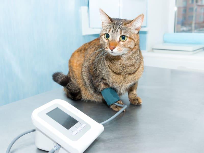Dicas para identificar pressão alta em animais